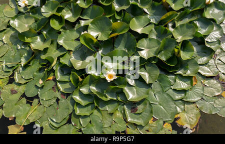Water lilies Nymphaeaceae with white flower and yellow center - Stock Image