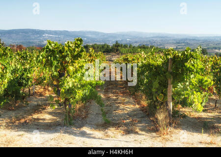 Rows of vines and distant hills at the vineyard of Quinta do Aral - The grape harvest - Serra da Estrela, Portugal - Stock Image