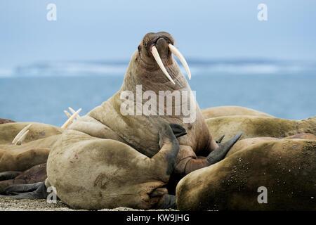 Atlantic Walrus hauled out on Arctic Beach - Stock Image