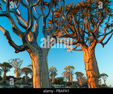 Quiver trees (Aloe dichotoma) at sunset, Namib Desert, Namibia. - Stock Image
