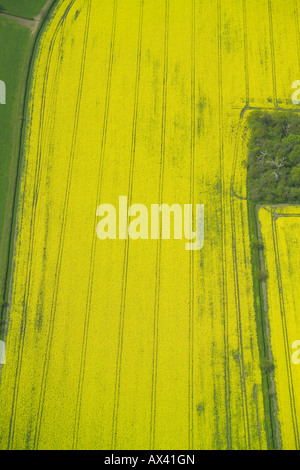 Aerial view of a field with a crop of oilseed rape growing in it, also known as rape or rapeseed - Stock Image
