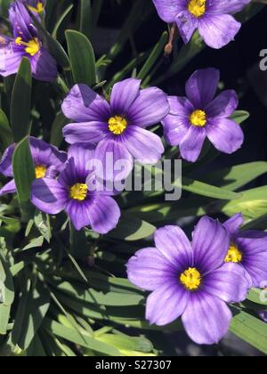 Sisyrinchium rocky point purple flowers - Stock Image