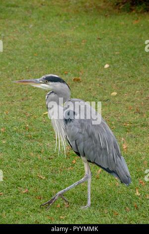 Grey Heron (Ardea Cinerear) on a lush green lawn. - Stock Image