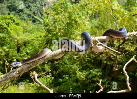 Northern white-lipped python (Leiopython albertisii) in tree, Irian Jaya, Papua New Guinea - Stock Image