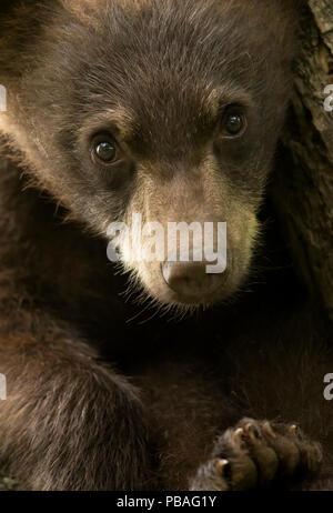 Black Bear (Ursus americanus) cub, close up portrait, Minnesota, USA, June - Stock Image