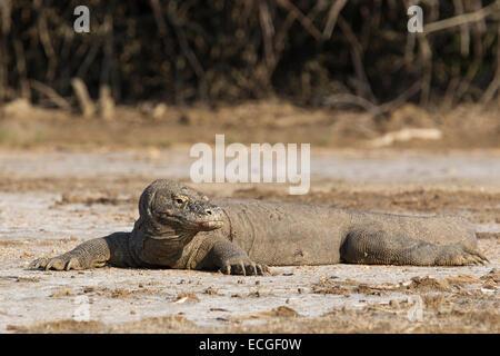 Komodo dragon, Varanus komodensis, Komodowaran, resting on Rinca Island, Komodo National Park, Indonesia - Stock Image