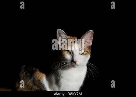Calico cat looking straight at the viewer, black background - Stock Image
