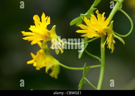 Canary Creeper, Canarybird Vine (Tropaeolum peregrinum), flowers. - Stock Image