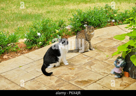 Grey tiger stripe domestic short hair tabby cat and a black and white tuxedo cat outdoors standing on a garden patio. - Stock Image
