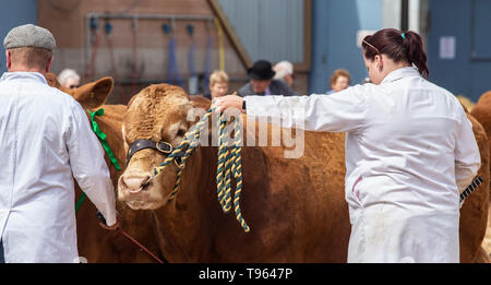 A farmer prepares a bull for showing at the DEvon County Show, Exeter - Stock Image