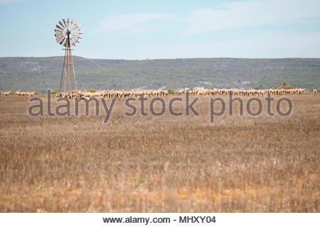 Field With Flock Of Sheep And Wind Pump In Western Cape Region Of South Africa - Stock Image