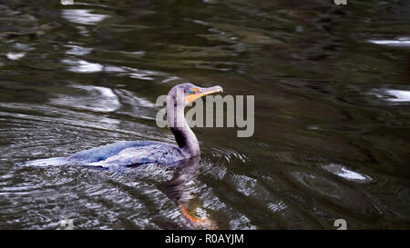 A double crested cormorant, Phalacrocorax auritus, on the surface water of a lake in north america - Stock Image