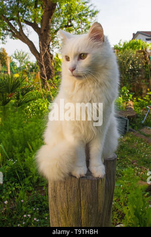 A beautiful adult male cat sitting on a log post in a north east Italian garden - Stock Image