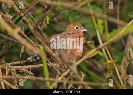 Red-crested Finch (Coryphospingus cucullatus fargoi) adult female perched on branch  Copalinga Lodge, Zamora-chinchipe, Ecuador           February - Stock Image