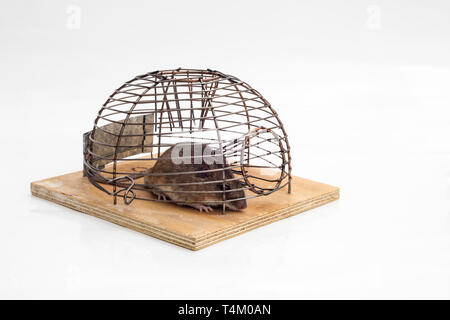 Mouse trapped in a mouse trap in white isolated background. - Stock Image