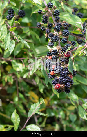 Close up view of a bunch or cluster of ripe blackberries in a hedge in the autumn sun - Stock Image