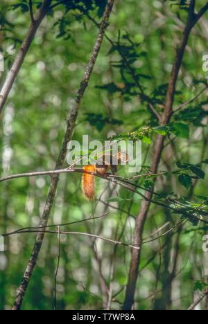 American red squirrel (Tamiasciurus hudsonicus) balancing on a thin branch of a Beech tree, Michigan upper peninsula near Munising Michigan US. June. - Stock Image