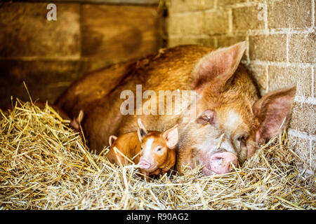 Close up of brown Tamworth sow and piglet lying on straw in barn. - Stock Image