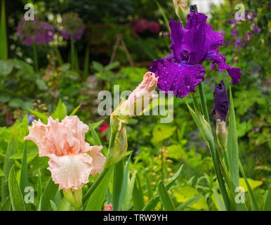 Pink and purple irises growing in a garden in north east Italy. The flowers are wet from recent rain - Stock Image