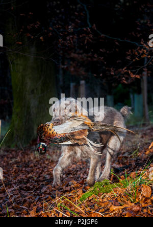 A Slovakian Rough Haired Pointer dog, in woodland carrying or retreiving a cock pheasant on a winter afternoon during a pheasant shoot - Stock Image