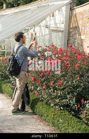 Man photographing Dhalias with his phone, Fulhams Palace Gardens, Fulham, London England Britian UK - Stock Image