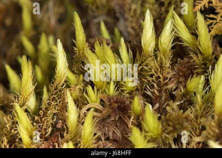 Polytrichum commune (Common Haircap moss) shoots - Stock Image