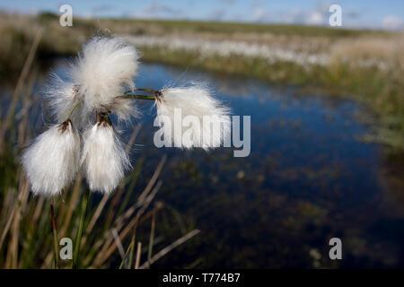 common cotton grass (eriophorum angusti folium) growing on bogs by pond, Gower Peninsula, South Wales - Stock Image