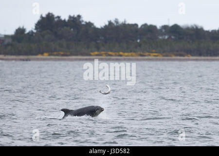 Bottlenose Dolphin hunting salmon at Chanonry Point - Stock Image