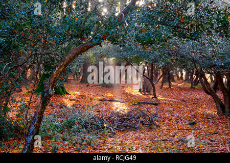 Glistening, golden trees in a forest in the autumn, fall, light is streaming through the trees casting sunbeams on the floor which is golden covered a - Stock Image