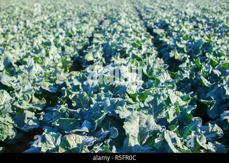 Cultivation of broccoli. Furrows at Guadiana River Meadow, Extremadura, Spain - Stock Image