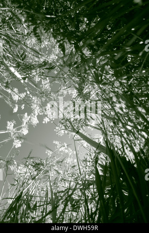 White flowers blooming in a meadow in spring. Black and white photograph, tinted green. - Stock Image