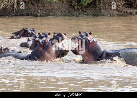 Common Hippopotamus (Hippopotamus amphibius) fighting, with mouth wide open facing each other, as if laughing - Stock Image