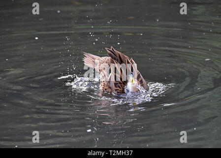 A South Georgia Pintail (Anas g georgica), a subspecies of the Yellow-billed Pintail, bathing on a lake in South West England - Stock Image
