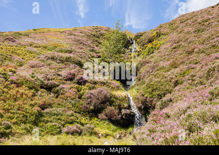 Mountain stream and flowering heather on Pen Llithrig-y-wrach hillside in summer in Snowdonia National Park. Capel Curig, Conwy. North Wales, UK - Stock Image