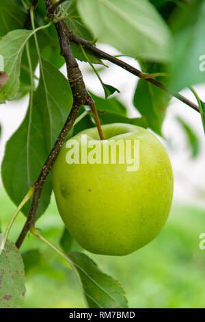 New harvest of healthy fruits, ripe sweet green apples growing on apple tree close up - Stock Image