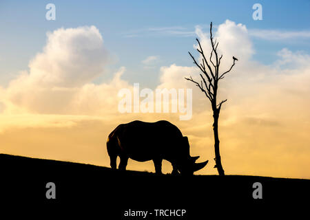 Stunning, side view capture of lone rhinoceros (Ceratotherium simum) stood isolated, silhouetted against sunset sky on sloping hillside with bare tree - Stock Image