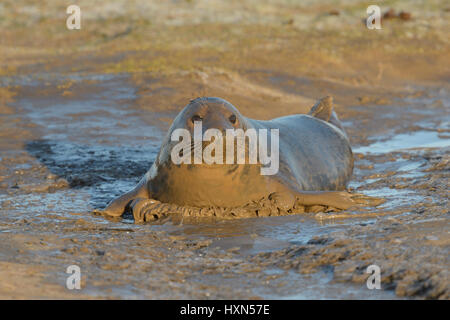 Atlantic grey seal (Halichoerus grypus) adult female wallowing in mud. Donna Nook, Lincolnshire. UK. January. - Stock Image