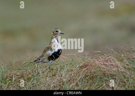 Golden plover (Pluvialis apricaria) adult in breeding plumage on moorland. Shetland Isles. June. - Stock Image