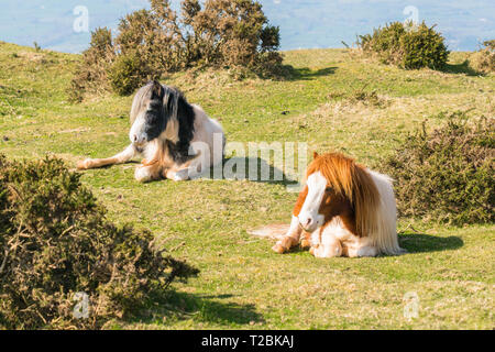 Mountain ponies laying down in the afternoon sun, Hay-on-Wye Powys UK. March 2019 - Stock Image