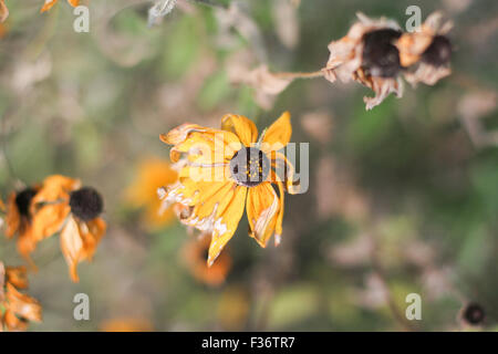 dried daisy flowers withered - Stock Image