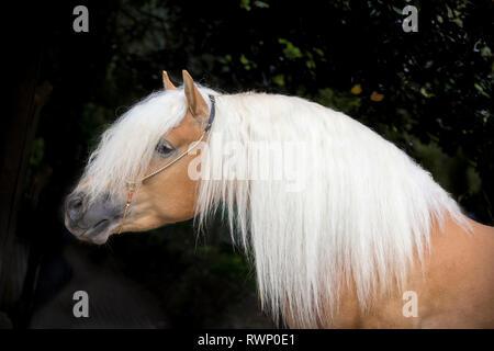 Haflinger Horse. Portrait of adult stallion against a black background. South Tyrol, Italy - Stock Image