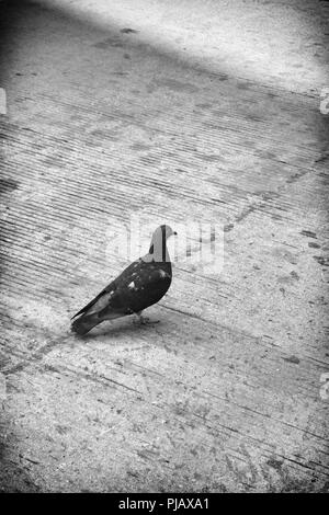 A moody black and white images of a pigeon on a sidewalk - Stock Image