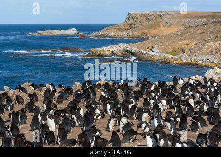 Rockhopper penguin colony (Eudyptes chrysocome), Falkland Islands - Stock Image