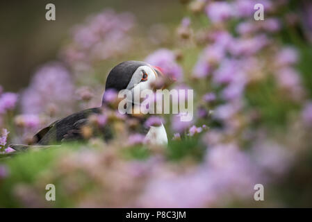 Puffins from Saltee Island in Ireland - Stock Image
