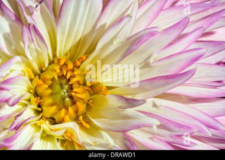 Dahlia Blossom - Stock Image