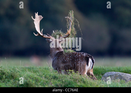 Fallow Deer (Dama dama), Buck Displaying with Grass on Antlers during Rut, Royal Deer Park, Klampenborg, Sjaelland, - Stock Image