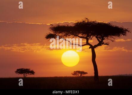 SUNRISE & silhouetted Acacias  Masai Mara National Reserve, Kenya,  eastern Africa - Stock Image