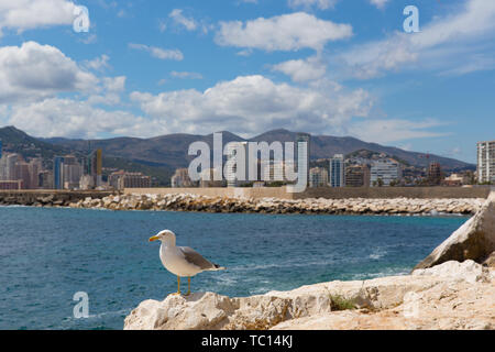 Seagull in Calpe Spain with town and seafront hotels and apartments on Spanish Mediterranean coast - Stock Image