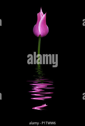 Closed purple and white tulip reflected in water - Stock Image