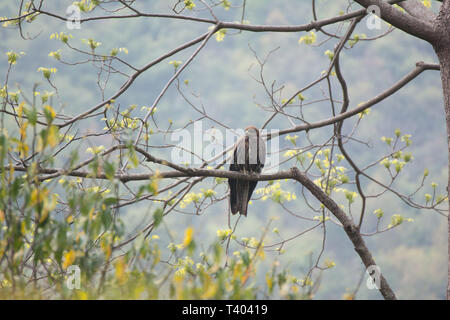 SaveDownload PreviewSteppe eagle proudly perched on a branch - Stock Image
